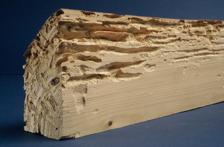 dégats des termites